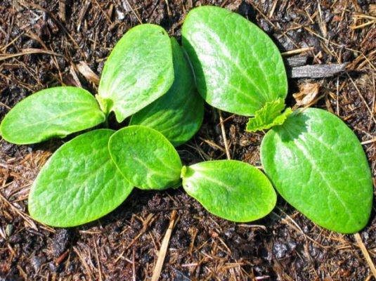 Всходы из семян кабачка в открытом грунте