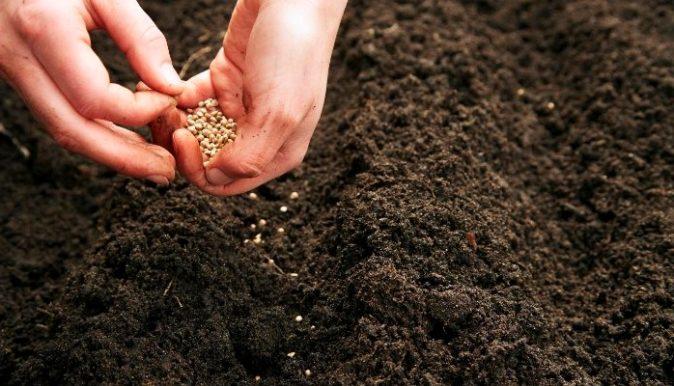Посев семян кинзы