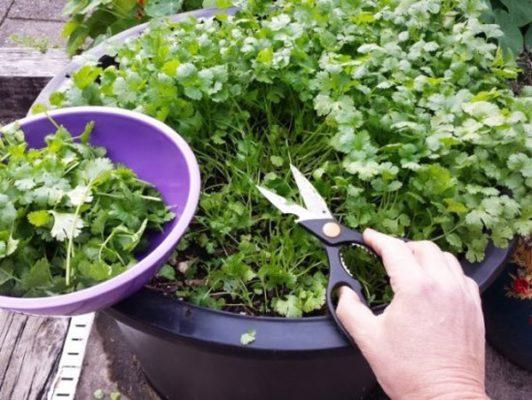 Сбор урожая кинзы