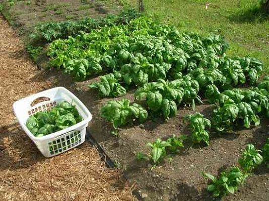 Уборка урожая шпината