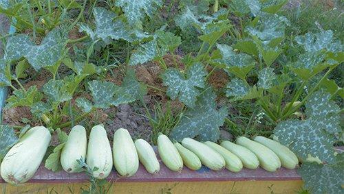 Урожайный сорт Искандер