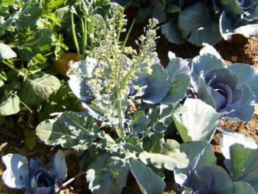 Цветение капусты