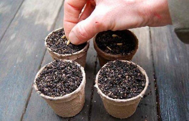 Высадка семян дыни на рассаду