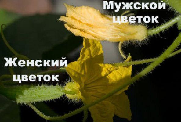«Мужские» и «женские» цветки дыни