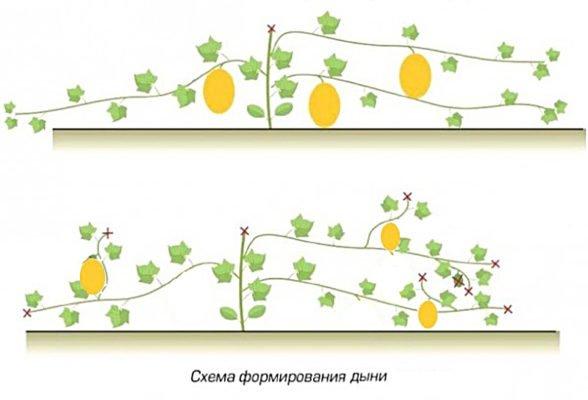 Схема формирования дыни