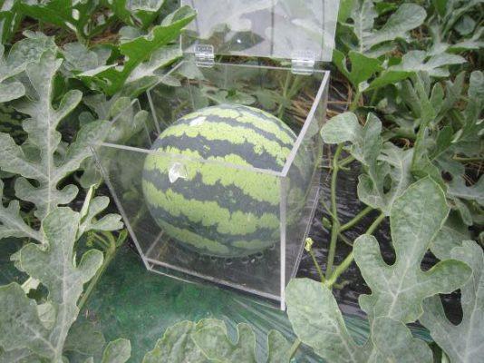 Выращивание квадратного арбуза