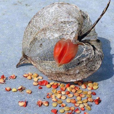 Семена физалиса ягодного