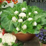 Сорт цветной капусты Сочинская