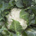 Сорт цветной капусты Адлерская зимняя 679