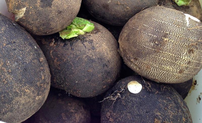 Выращивание редьки черной в открытом грунте