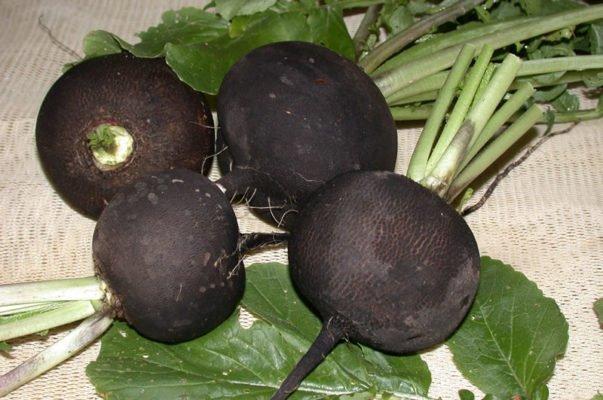 Плоды чёрной редьки