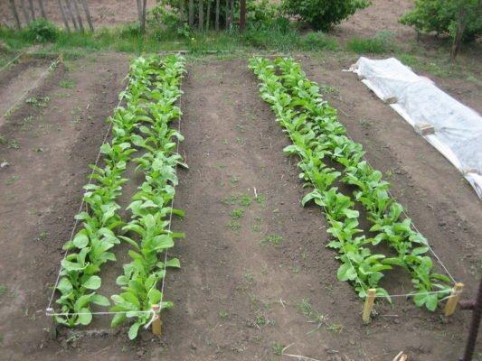 Подходящее место для выращивания чёрной редьки