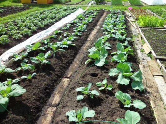 Открытое и освещённое место для посадки капусты