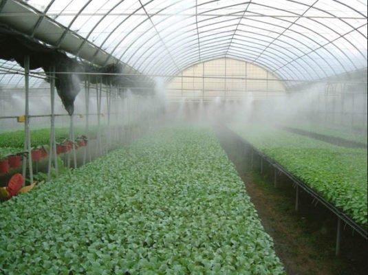 Полив капусты дождеванием в теплице