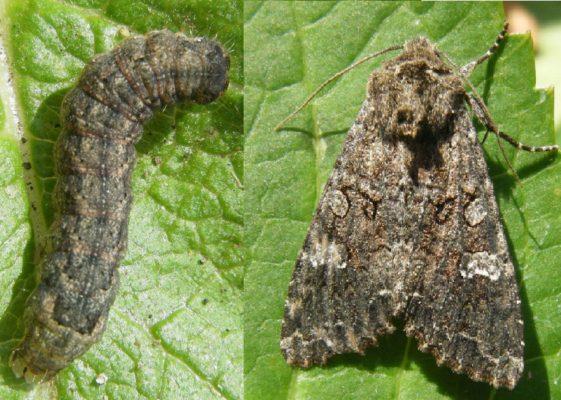 Гусеница и бабочка совки капустной