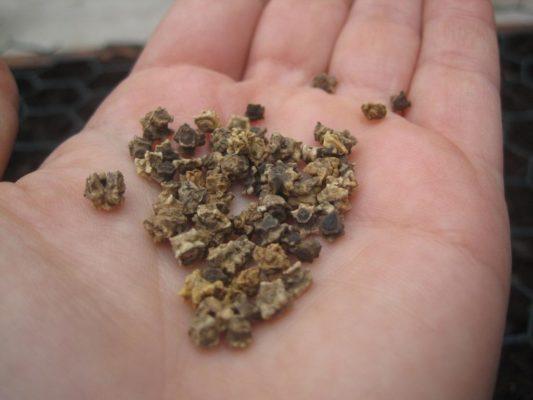 Семена сахарной свёклы