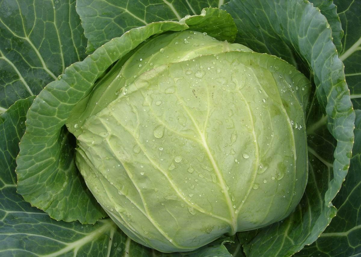 Сорта белокочанной капусты: названия, фото