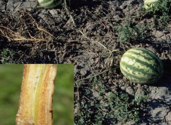 Фузариоз арбуза