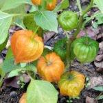 Спеющие плоды овощного физалиса