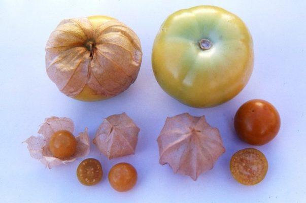 Овощной и ягодный физалис