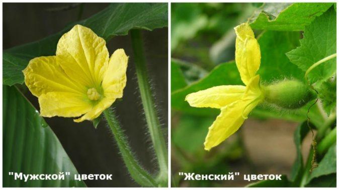 Мужские и женские цветки