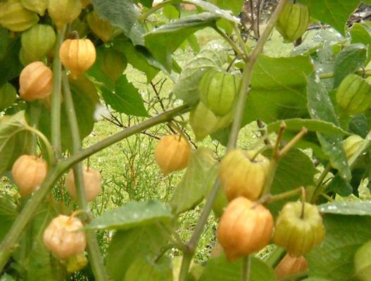 Созревание плодов физалиса