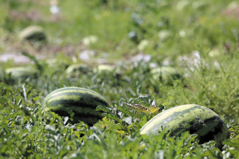 Арбузы ранние сорта для средней полосы