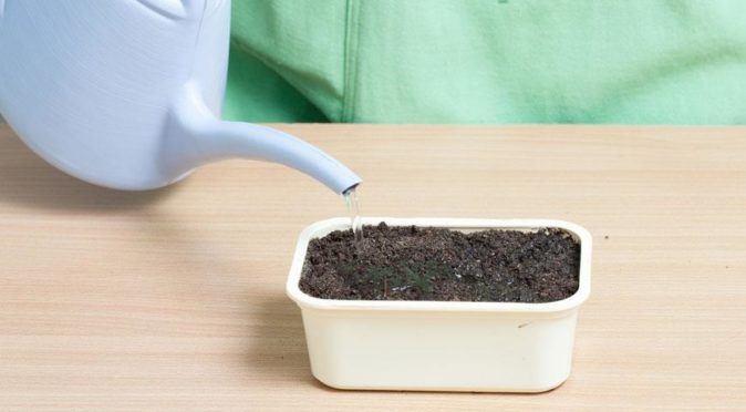Полив почвы с высаженными семенами свёклы