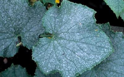 Мучнистая роса тыквы
