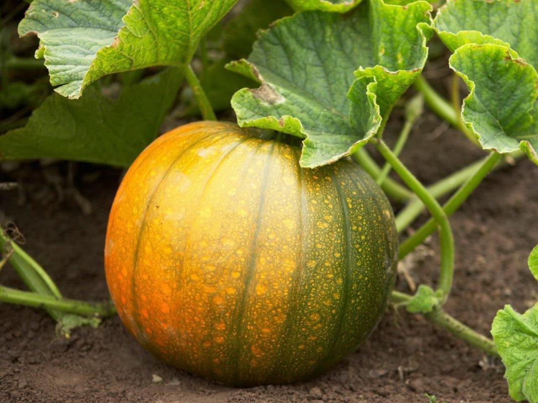 Когда сажать тыкву сроки посадки рассады и посева сразу в грунт, видео