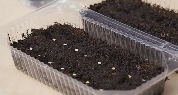 Посев семян баклажанов