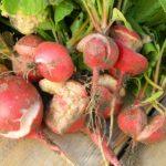 Корнеплоды редиса потрескались