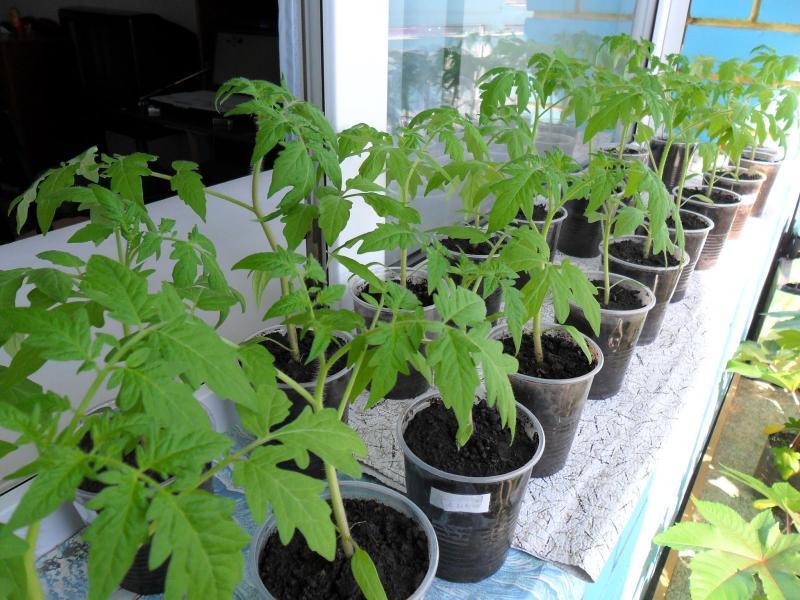 как правильно сеять помидоры в парник