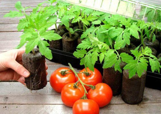 Торфяные таблетки с помидорами