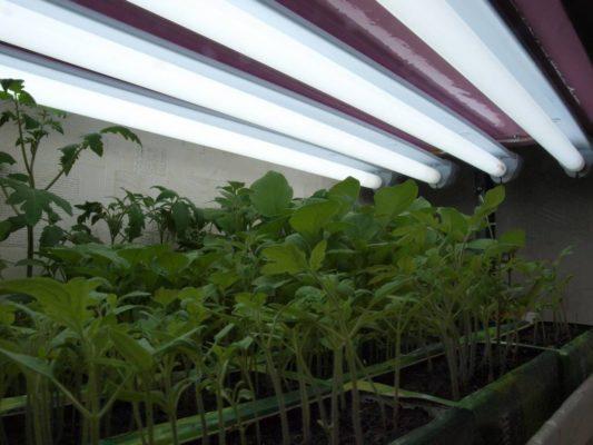 Рассада помидоров под лампой