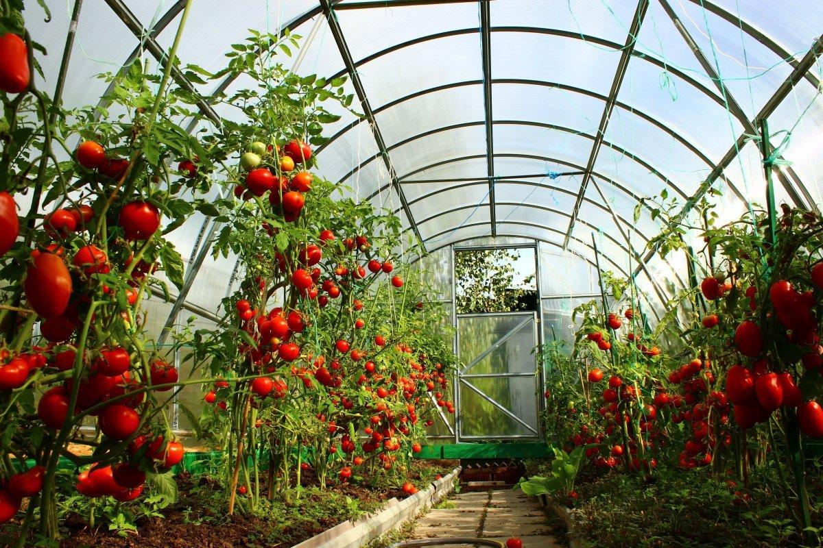 Детерминантный и индетерминантный сорт томатов: что это такое и что лучше?