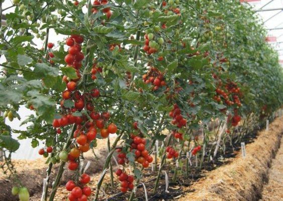 Кусты индетерминантных томатов