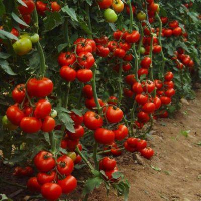 Урожайность индетерминантных томатов