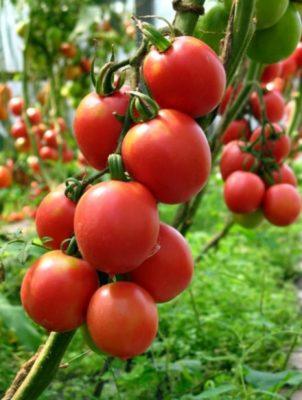 Кисть томатов сорта Де Барао