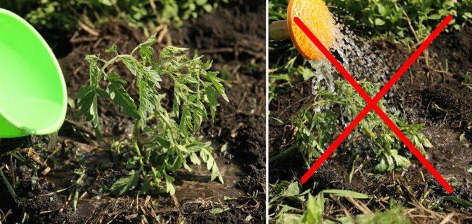 Правильный и неправильный полив томатов
