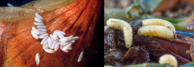 Яйца и личинки луковой мухи