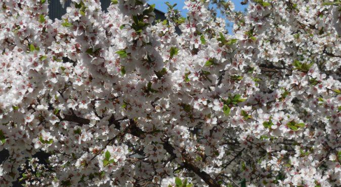 Период цветения вишни — начало лёта луковой мухи