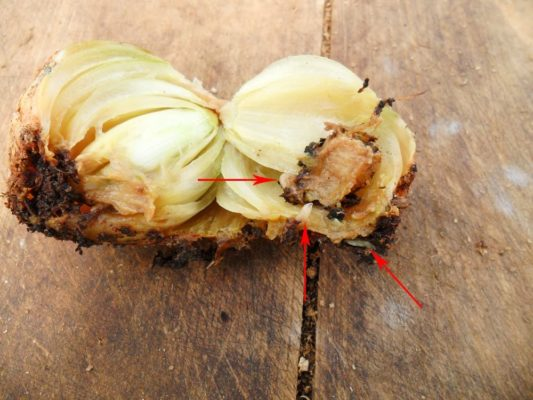 Повреждённая личинками луковой мухи луковица