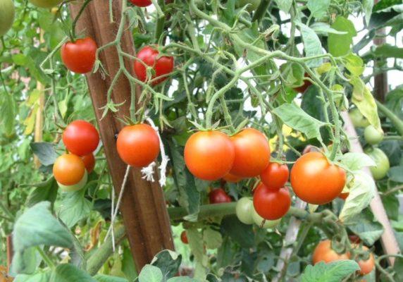 Куст томата Сибирский скороспелый