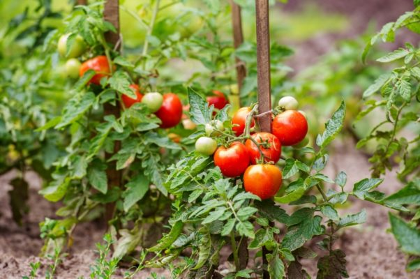 Подвязанные томатные кусты