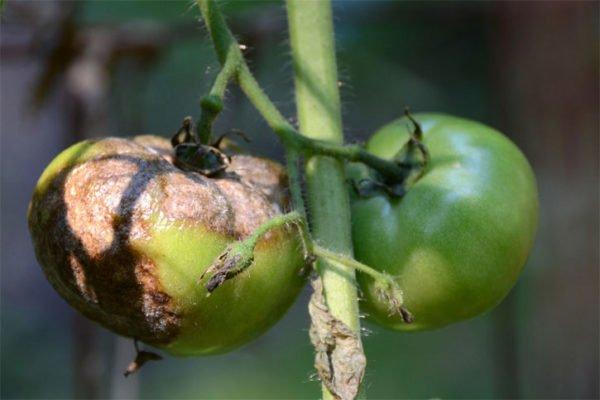 Фитофтороз на плодах томата
