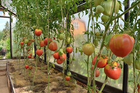 Формирование куста томата сорта Бычье сердце