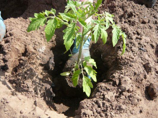 Высадка в грунт рассады томатов