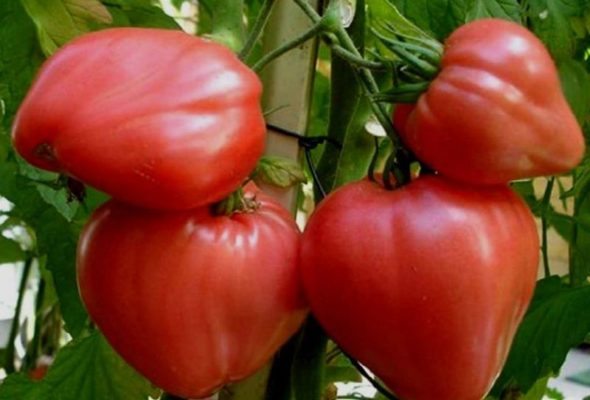 Подвязывание куста томата Бычье сердце к опоре
