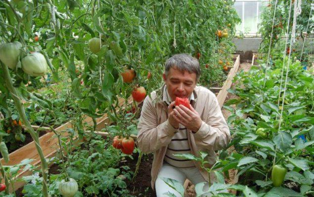 Кусты томата сорта Бычье сердце